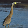 Bare- throated Tiger-Heron