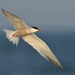 Common Tern in evening light